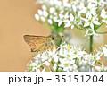 イチモンジセセリ ニラ 蝶の写真 35151204