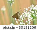 イチモンジセセリ ニラ 蝶の写真 35151206