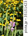 ハナトラノオ 花 花虎の尾の写真 35151423