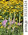 ハナトラノオ 花 花虎の尾の写真 35151424