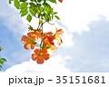 ノウゼンカズラ 凌霄花 花の写真 35151681