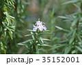 ローズマリー 花 ハーブの写真 35152001