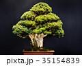 盆栽 五葉松 松の写真 35154839