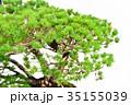 盆栽 五葉松 松の写真 35155039