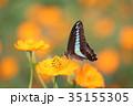 花 コスモス 蝶の写真 35155305