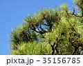 黒松 雄松 男松の写真 35156785