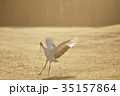 早朝のタンチョウダンス(北海道・鶴居) 35157864