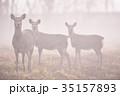 霧の中のエゾシカの群れ(北海道) 35157893