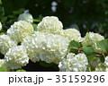 花 白 大手毬の写真 35159296