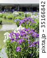 花菖蒲 花 菖蒲の写真 35166842