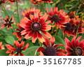 ルドベキア・チェリー ルドベキア 花の写真 35167785