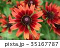 ルドベキア・チェリー ルドベキア 花の写真 35167787