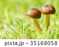 秋 茸 植物の写真 35168058