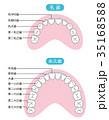 乳歯 永久歯 歯の名称 35168588
