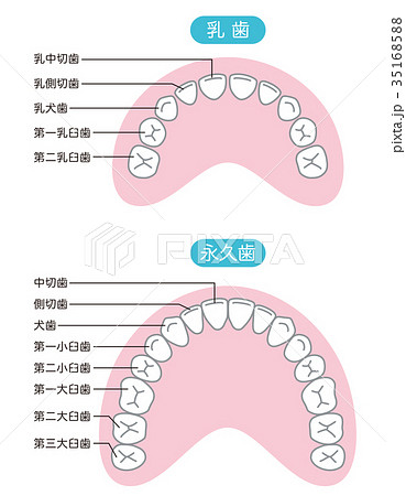 乳歯 永久歯 歯の名称のイラスト...