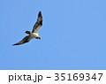 鳥 飛ぶ ミサゴの写真 35169347