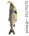 新巻鮭 荒巻鮭 鮭のイラスト 35175275