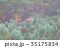 山頂のノゴマ 35175834