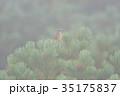 山頂のノゴマ 35175837