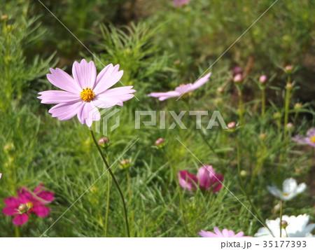 秋の花コスモスの薄い桃色の花 35177393