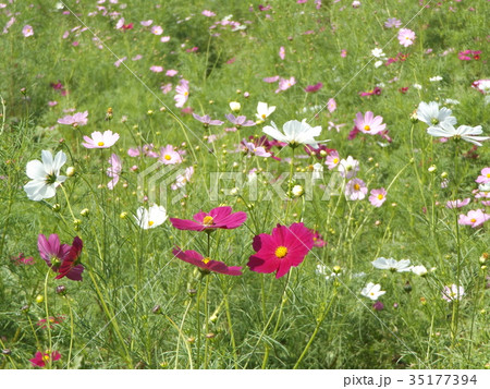秋の花コスモスの薄い桃色と赤い花 35177394