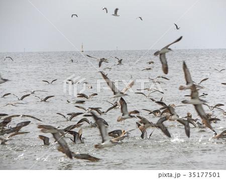 稲毛海岸に来たミズナギドリの勇姿 35177501