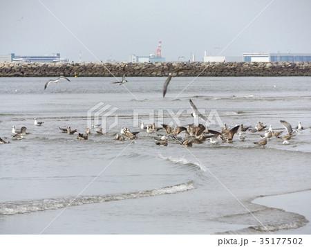 稲毛海岸に来たミズナギドリの勇姿 35177502