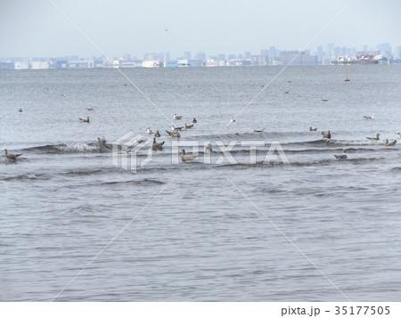 稲毛海岸に来たミズナギドリの勇姿 35177505