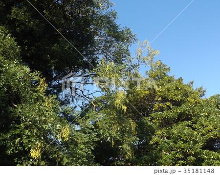 検見川浜のエンジュの木に莢に入った沢山の実 35181148
