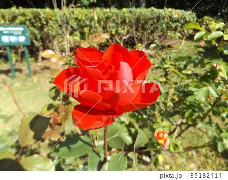 赤い色のバラの花 35182414