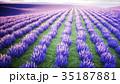 ラベンダー色 藤色 野原のイラスト 35187881