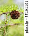 枝 マクロ 樹木の写真 35191191