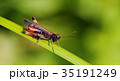 バッタ 草木 昆虫の写真 35191249