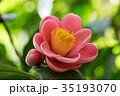 冬 花 椿の写真 35193070