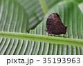 蝶 チョウ 蝴蝶の写真 35193963