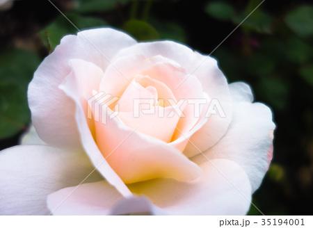 淡い色のバラ 35194001