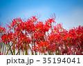 彼岸花 ヒガンバナ 青空の写真 35194041