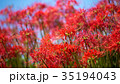 彼岸花 ヒガンバナ 青空の写真 35194043