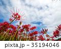 彼岸花 ヒガンバナ 青空の写真 35194046