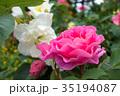 二輪のバラ 35194087