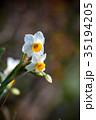 水仙 スイセン 花の写真 35194205