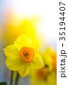 水仙 スイセン 花の写真 35194407