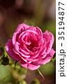 薔薇 ばら 花の写真 35194877