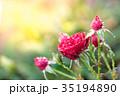 薔薇 ばら 花の写真 35194890