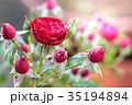 薔薇 ばら 花の写真 35194894