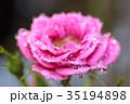 薔薇 ばら 花の写真 35194898