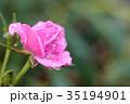 薔薇 ばら 花の写真 35194901