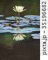 睡蓮 白 池の写真 35196682