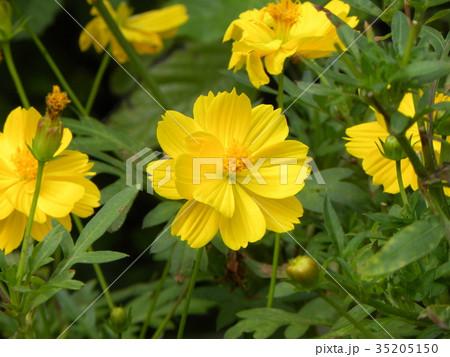 こじま花の会花畑のキバナコスモスの花 35205150