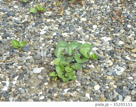 若葉が綺麗なハマヒルガオ 35205151